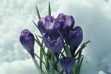 Spring is Christ crocuses
