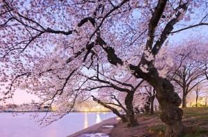 Hope springs eternal at the National Cherry BLossom Festival