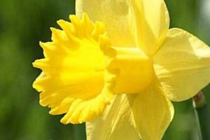 Healing in Lent: spring daffodils inspired this Wisconsin widow